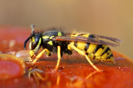 macro view on wasp eating honey photo