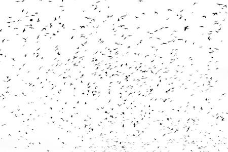 bandada pajaros: gran bandada de cuervos aislado en blanco