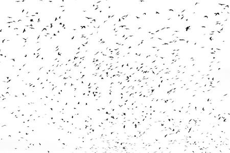 large flock of crows isolated on white Stock Photo - 12182903