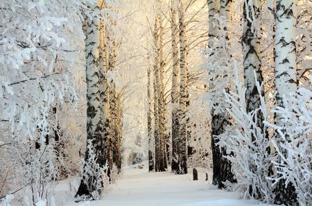 winter frozen birch woods in morning light