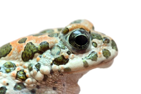 exotic frog: spotted toad macro portrait isolated on white