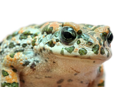 spotted toad macro portrait isolated on white photo