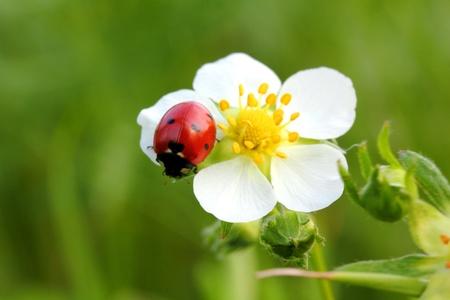 ladybug on wild strawberry flower macro  photo