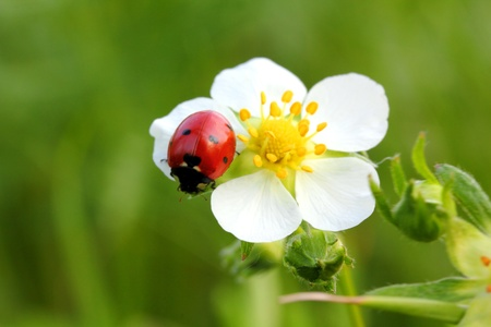 wild strawberry: ladybug on wild strawberry flower macro