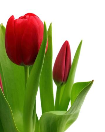 boeket van rode tulpen close-up op wit wordt geïsoleerd