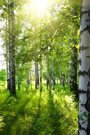 summer birch woods with sun shining photo