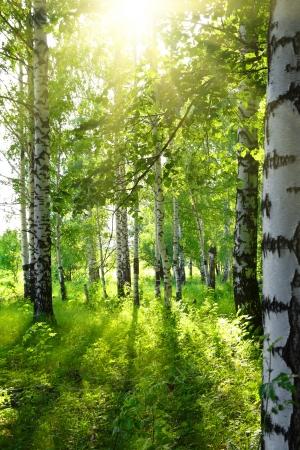summer birch woods with sun shining