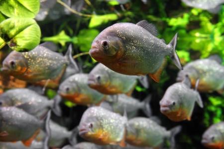 peces de acuario: pirañas peces bajo el agua