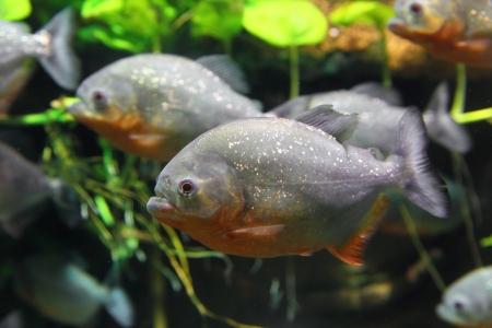 río amazonas: pirañas peces bajo el agua