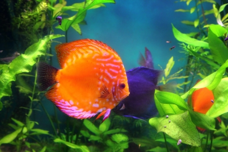 red discus fish in aquarium underwater