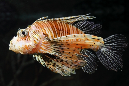 tropical fish: lionfish zebrafish underwater close-up
