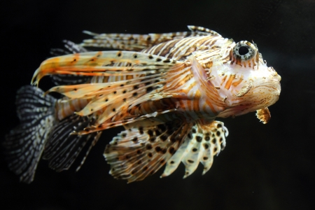 zebrafish: lionfish zebrafish underwater close-up