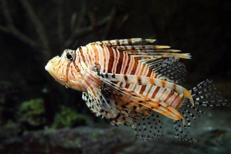 zebra lionfish: lionfish zebrafish underwater close-up