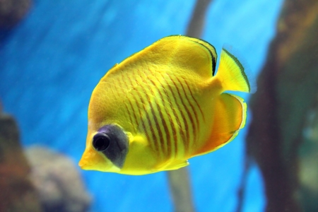 chaetodontidae: yellow butterfly-fish swiming under water
