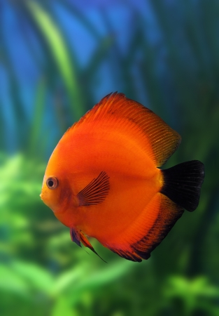 red discus fish in aquarium underwater Stock Photo - 16038084