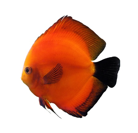 red discus fish isolated on white photo