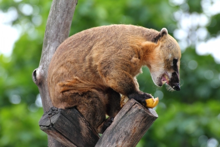nasua coati eating banana on tree Stock Photo - 16038086