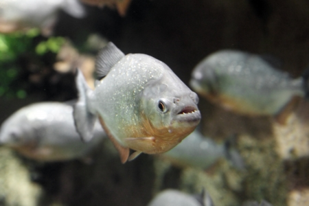 piranha fish underwater Stock Photo - 16169977