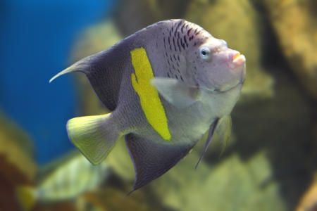 pomacanthus: tropical fish - angelfish - Pomacanthus, maculosus