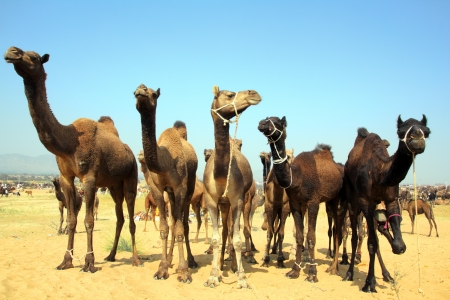 Pushkar Camel Fair - group of camels during festival in Pushkar photo