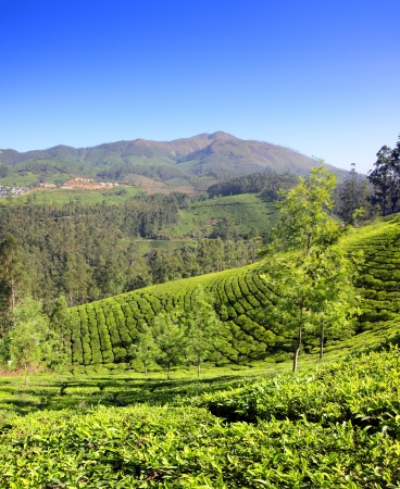 mountain tea plantation in Munnar Kerala India photo