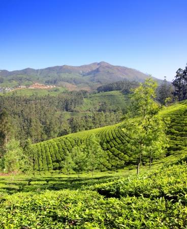 munnar: mountain tea plantation in Munnar Kerala India