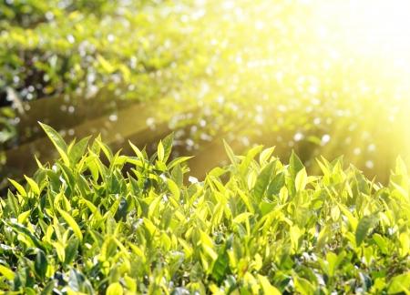 tea plants in sunbeams - Munnar Kerala India Stock Photo - 17301347