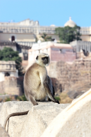 presbytis monkey on kumbhalgarh fort wall - india photo