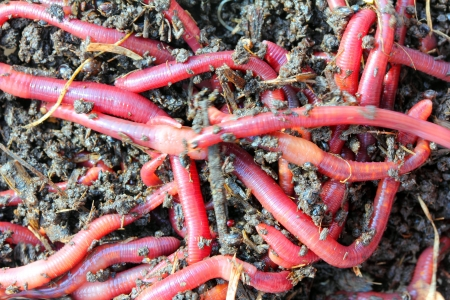 wiggler: red worms in compost - bait for fishing