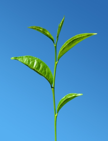 tea green leaves against blue sky photo