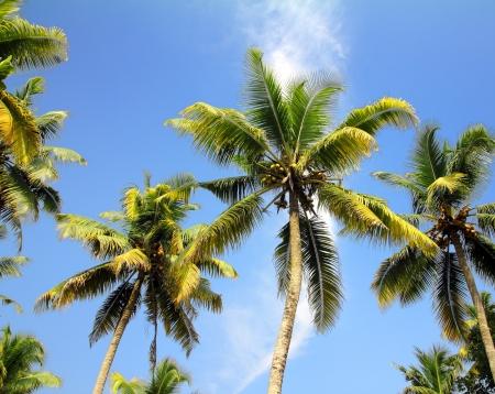 branches of coconut palms under blue sky Reklamní fotografie - 19197285