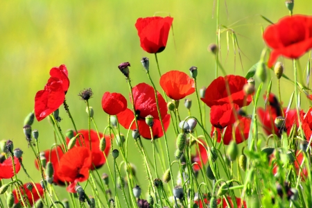many red poppy flowers in field photo