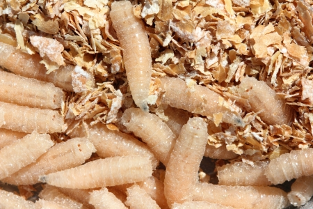 the larvae: maggots of fly - bait for fishing