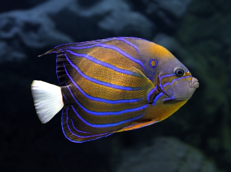 pomacanthus: striped angelfish underwater - pomacanthus annularis