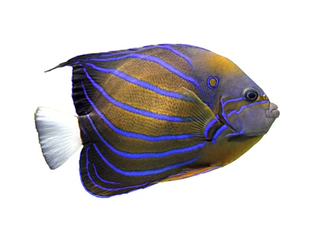 pomacanthus: angelfish isolated on white - pomacanthus annularis