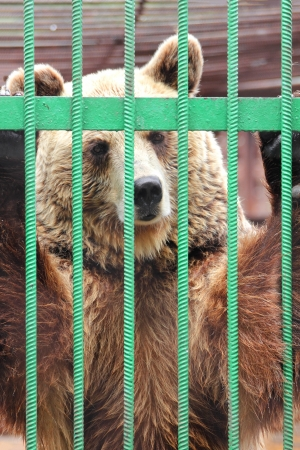 circus animal: captivity - brown bear closed in zoo cage