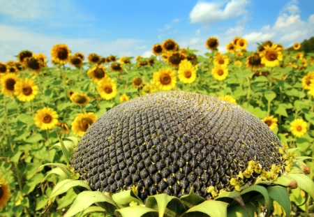 ripe sunflower on sunflowers field background Stock Photo - 22157662