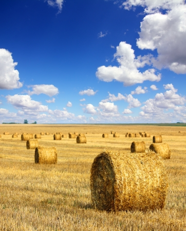 landscape with harvested bales of straw in field  photo