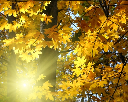 autumn yellow leaves and sun shining photo
