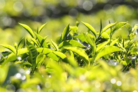 munnar: tea leaves closeup - Munnar Kerala India