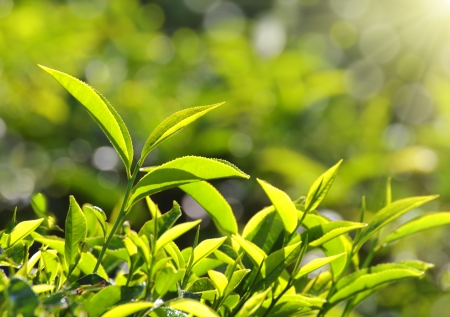 tea plants in sunbeams - Munnar Kerala India photo