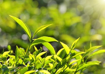 munnar: tea plants in sunbeams - Munnar Kerala India
