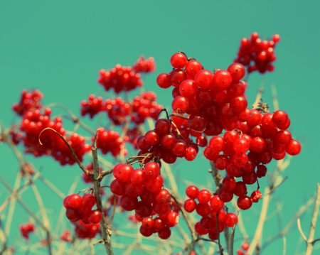 berryes: bright red snowball tree berryes bunch - vintage retro style