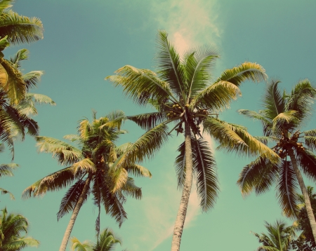 coconut: branches of coconut palms under blue sky - vintage retro style