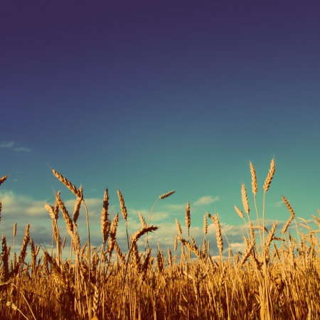 stems of wheat in sunset light under blue sky - vintage retro style 스톡 콘텐츠