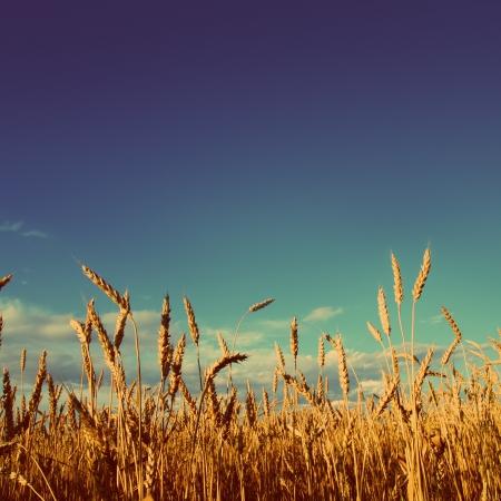 stems of wheat in sunset light under blue sky - vintage retro style Stockfoto