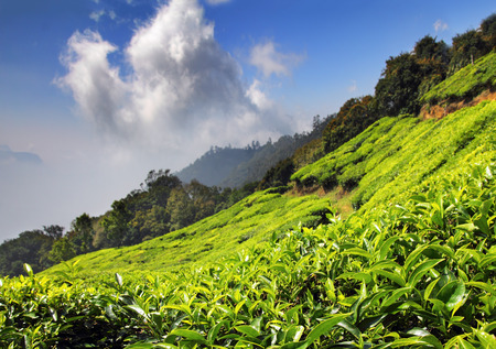 mountain tea plantation in Munnar Kerala India photo