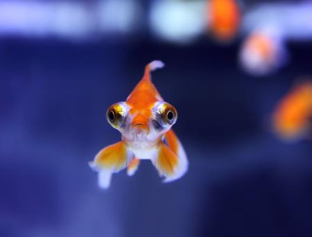 telescope goldfish in aquarium Stock Photo - 25715175