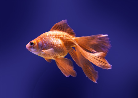 beautiful goldfish swimming in aquarium Stock Photo - 25715176