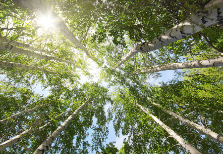 treetop: tops of summer birch trees and sun